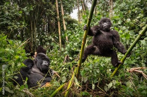 Fotografia Wild mountain gorilla in the nature habitat