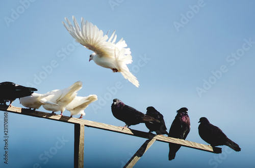 Purebred pigeons are sitting on a wooden pole.