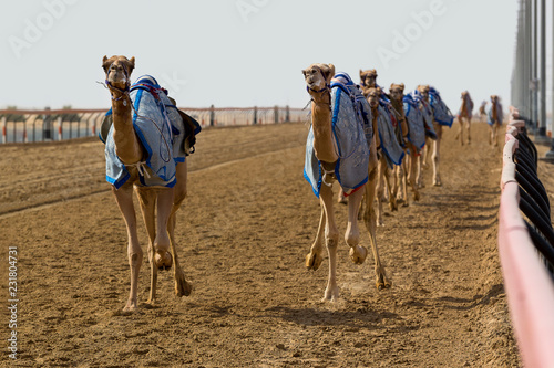 Camels racing in Dubai with a robot jockey on the track