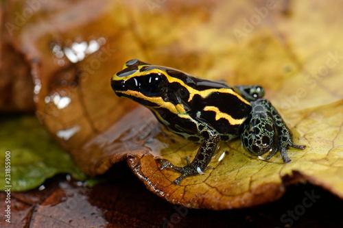 Gepunkteter Baumsteiger ( Ranitomeya variabilis) - Variable Poison Frog