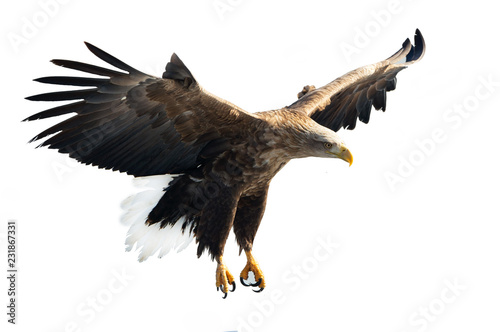 Adult White-tailed eagle in flight. Isolated on White background. Scientific name: Haliaeetus albicilla, also known as the ern, erne, gray eagle, Eurasian sea eagle and white-tailed sea-eagle.