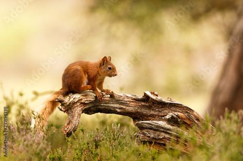 Obraz na plátně Scottish Red Squirrel