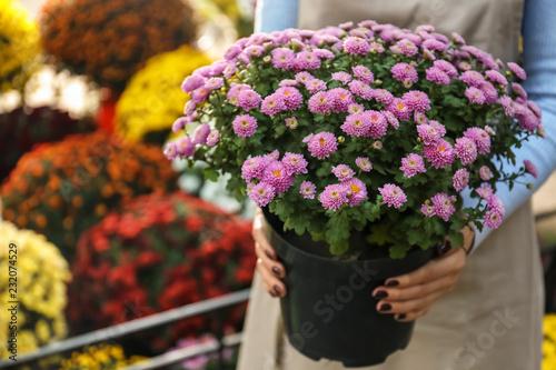 Cuadros en Lienzo Saleswoman holding pot with beautiful chrysanthemum flowers in shop