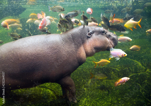 Obraz na plátne Pygmy hippo swimming with the fish.