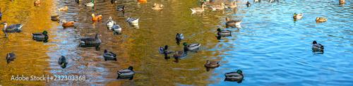 Valokuva Different wild ducks at the pond. Panoramic shooting.