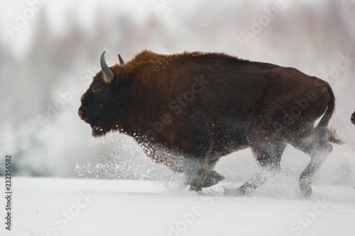 Stampa su Tela European bison - Bison bonasus in the Knyszyn Forest (Poland)