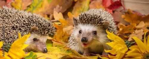 Fotografia, Obraz Four-toed Hedgehog (African pygmy hedgehog) - Atelerix albiventris funny autumna