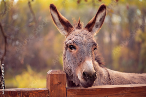Canvas Print funny donkey domesticated member of the horse family.