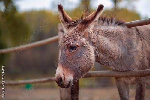 Fotografia Beautiful Friendly brown donkey outdoors.
