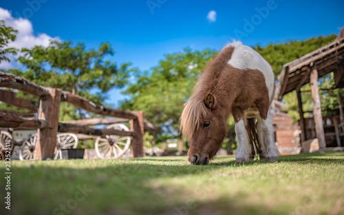Carta da parati Dwarf Horse Animal