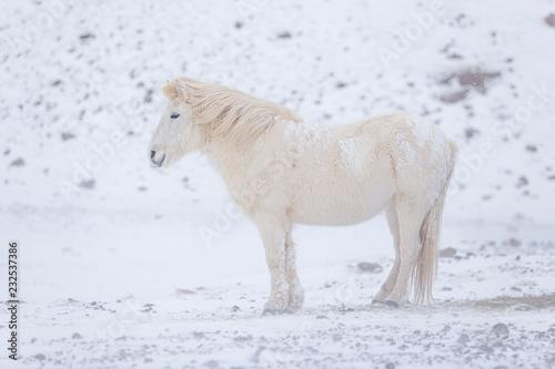 Fototapeta premium biały koń islandzki w górach na Islandii.