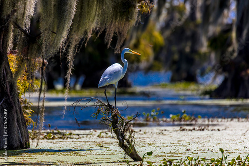 Fotografia White Egret in Cajun Swamp & Lake Martin, near Breaux Bridge and Lafayette Louis