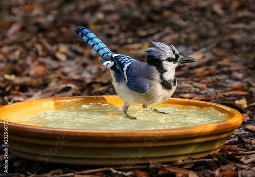 Photo Perky blue jay getting wet and standing in a backyard birdbath.