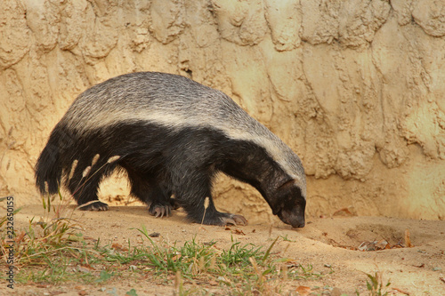 The honey badger, also known as the ratel Fototapet