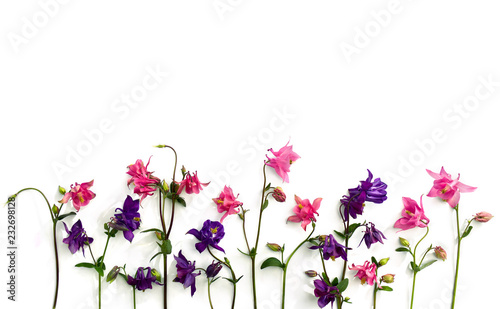 Canvas Pink and violet flowers columbine ( Aquilegia vulgaris, granny's bonnet ) on a white background