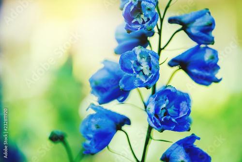 Fényképezés background nature Flower delphinium