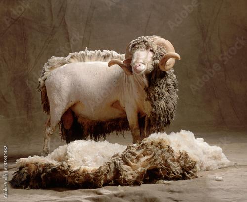 Fotografia wool sheep