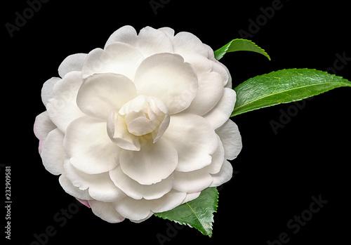 Cuadros en Lienzo White camelia flower on black background