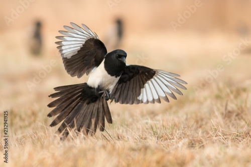 Canvas Print Birds - Common magpie (Pica pica)