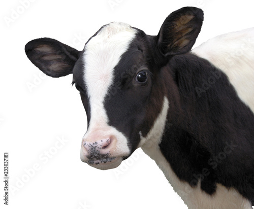 Canvas Print Calf, 8 months old, in front of white background