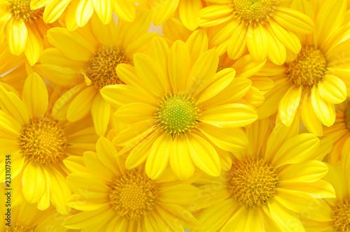 yellow chrysanthemum flowers Fototapet