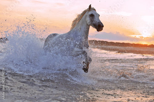 Fototapeta premium Prowadzenie koni w wodzie