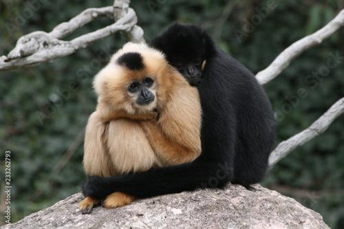 Valokuvatapetti Gibbons kuschelnd schwarz weiß