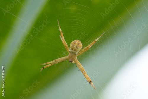 Fényképezés A spider on green blurred background