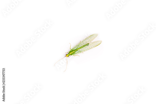 A close up of a Green lacewings bug, Chrysopidae family, Isolated on white background, copy space. Lives in North America and Europe. This bug is used in biological pest control as natural predator.