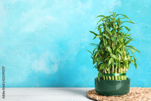 Green bamboo in pot near color wall. Space for text