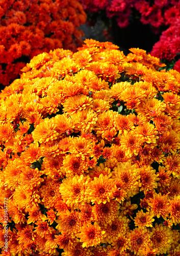 Fototapeta Red and orange chrysanthemum flowers growing in the garden