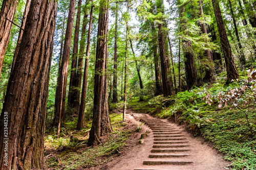 Fotografie, Obraz Hiking trail going through redwood forest of Muir Woods National Monument, north