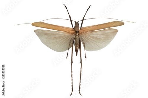 Fotografia Grasshopper isolated on a white
