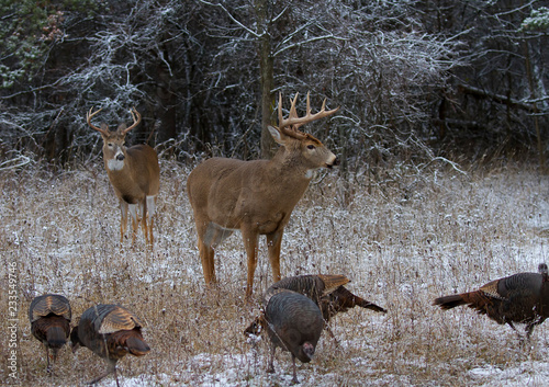 Two White-tailed deer buck standing in the winter snow with wild turkeys in Canada