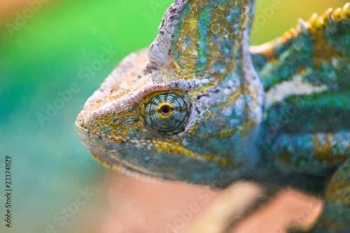 .Beautiful bright chameleon looks through the glass of the terrarium.