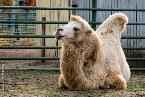 White Bactrian camel resting on the ground (Camelus bactrianus)