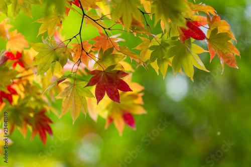 Fotografie, Obraz Maple tree over green background