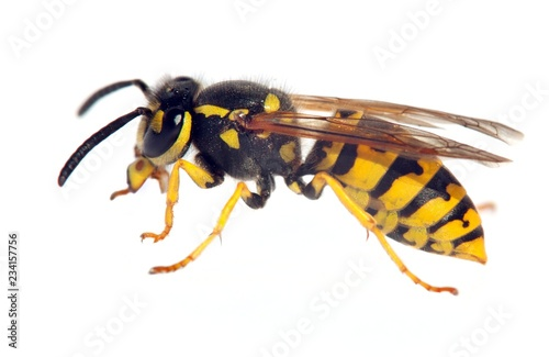 Fényképezés wasp isolateed on white background