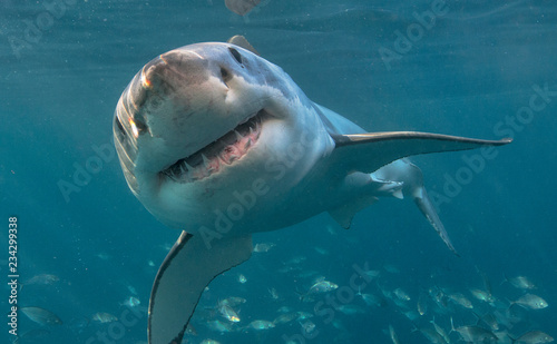 Canvas Print Great white shark with teeth