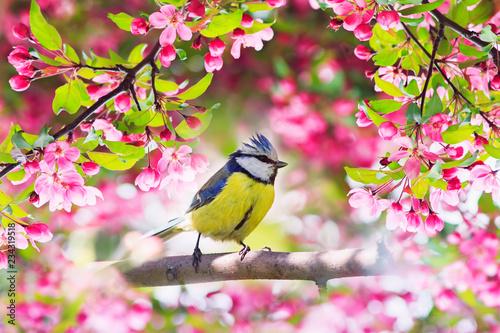 Fototapeta premium piękny mały ptak sikora siedzi w maju wiosenny ogród otoczony różowymi pachnącymi kwiatami jabłoni
