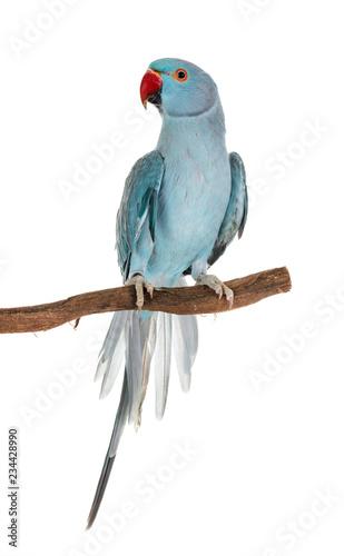 Stampa su Tela Rose-ringer parakeet in studio