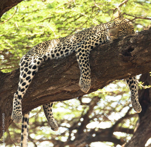 Schlafender Gepard im Baum