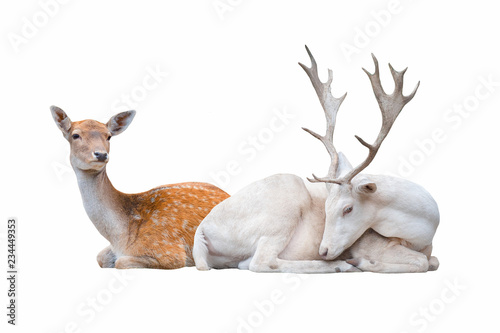Two deer lay  isolated on white background