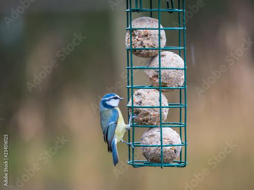Fotografie, Obraz Eurasian blue tits (Cyanistes caeruleus) on bird feeder