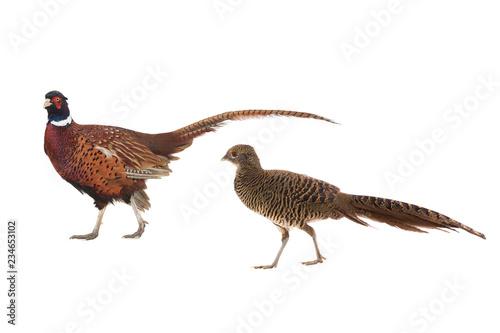Canvas Print male and female pheasant