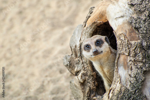 Canvas Print Meerkat coming out of his hole in old wood.