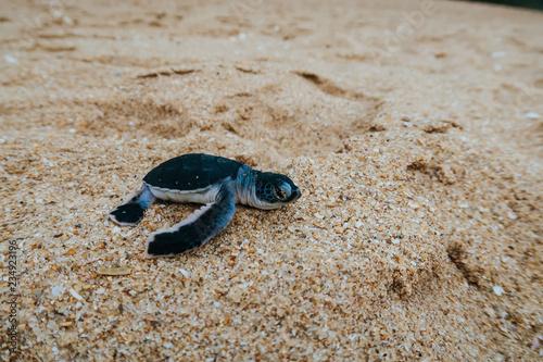 Fotografia, Obraz Closeup of a newborn baby sea turtle on a beach of Sri Lanka