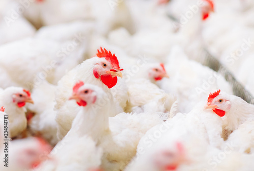 Obraz na plátně Indoors chicken farm, chicken feeding