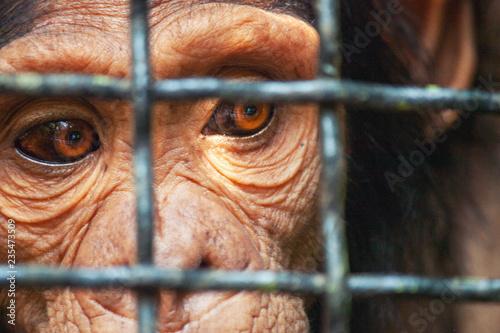 Fotografija Human eye ape trapped in a cage
