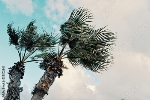 Fototapeta minimal graphic concept picture of palm trees in strong winds in front of storm